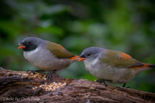 Swee waxbill male and female. Garden birds of Paradise Found in Knysna