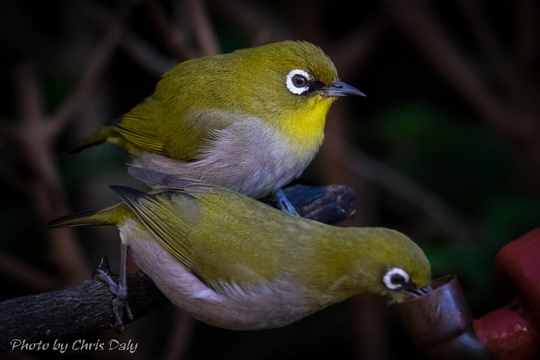 Cape white-eyes. Garden birds of Paradise Found in Knysna