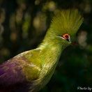 Guinea Turaco at Birds of Eden