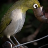 Cape White-eye feeding in the garden of Paradise Found in Knysna