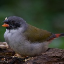 Swee waxbill male. Garden birds of Paradise Found in Knysna