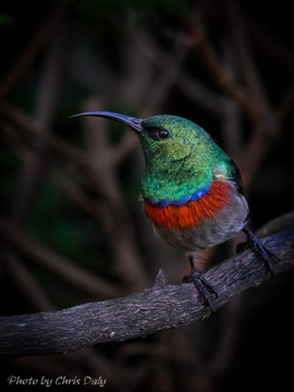 Male sunbird. Garden birds of Paradise Found in Knysna
