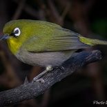 Cape White-eye in the garden of Paradise Found in Knysna