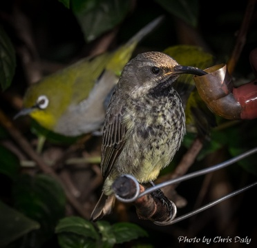Juvenile sunbird feeding in the garden of Paradise Found in Knysna
