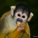 A cute Squirrel Monkey at Monkeyland