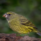 Forest canary. Garden birds of Paradise Found in Knysna